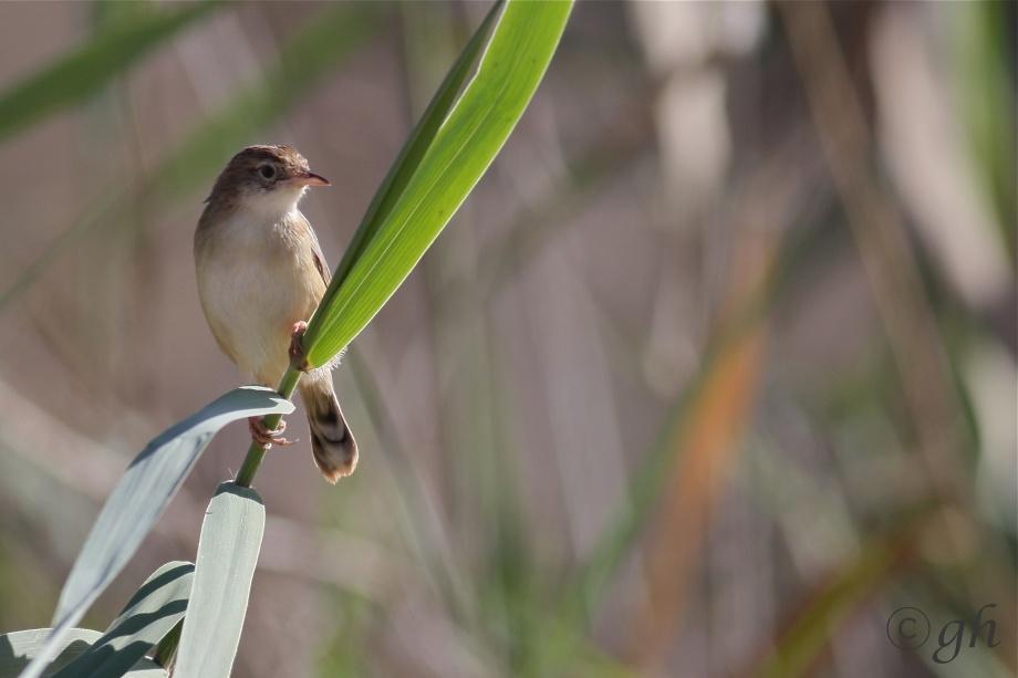 graszanger, grass singer, Souss Massa national park