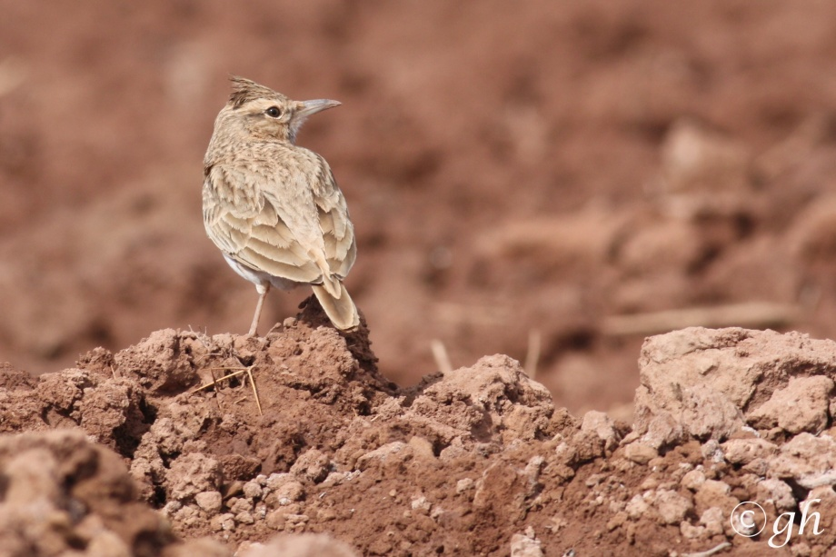 kuifleeuwerik, crested lark, Ouarzazate