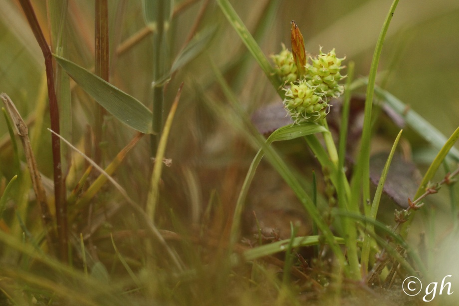 dwergzegge, little green sedge