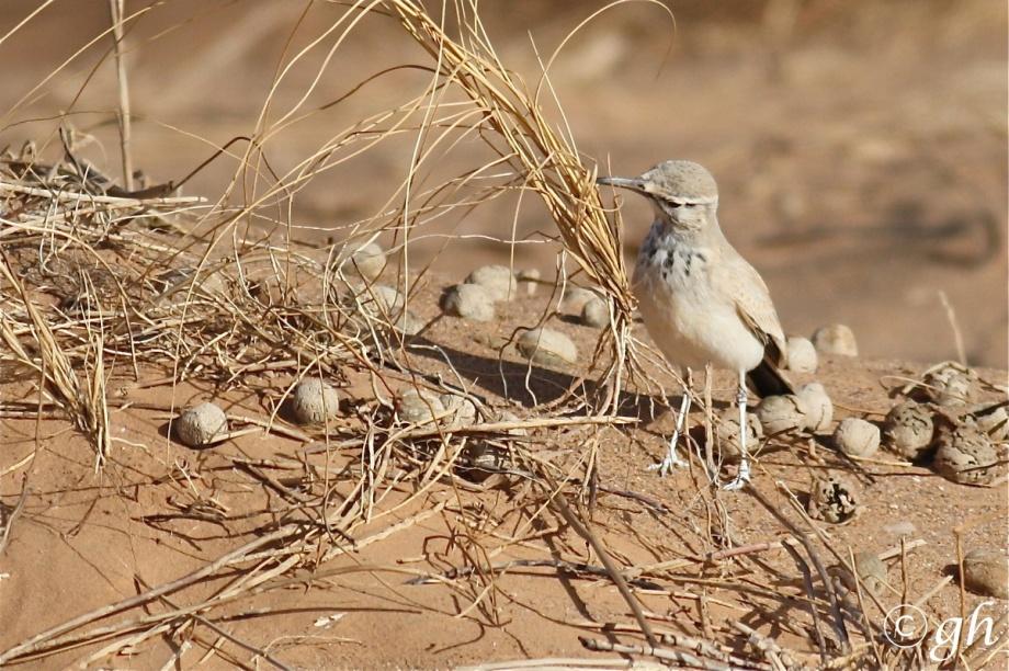 Witbandleeuwerik, hoopoe lark, Erg chebbi desert