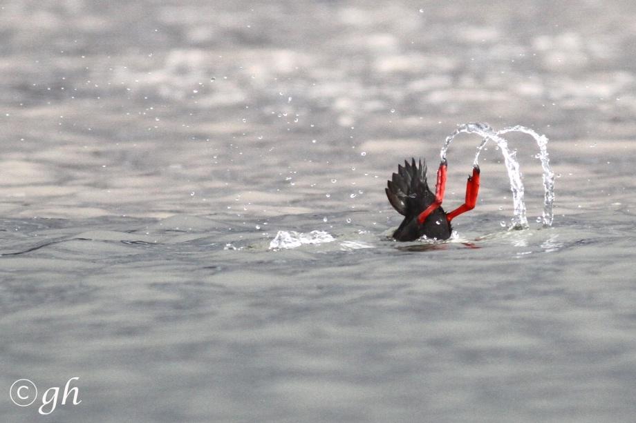 Black guillemot  /  zwarte zeekoet