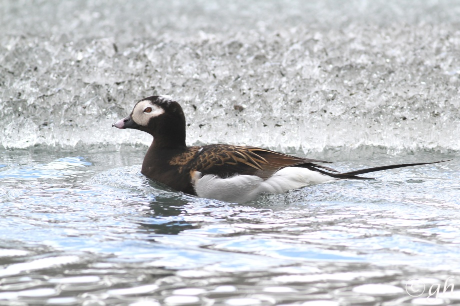 long-tailed duck (m), ijseend (m)