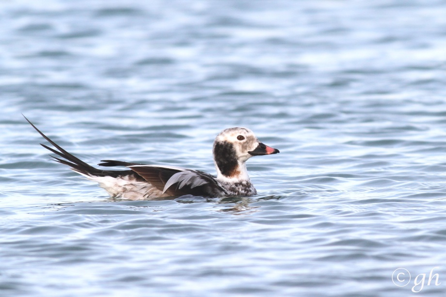 long-tailed duck / ijseend