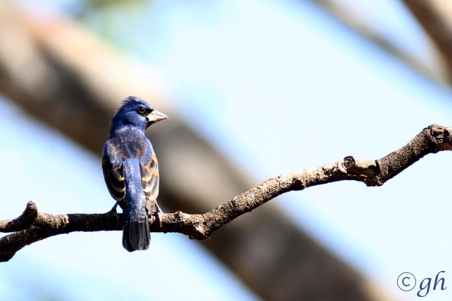 blue grosbeak / blauwe bisschop