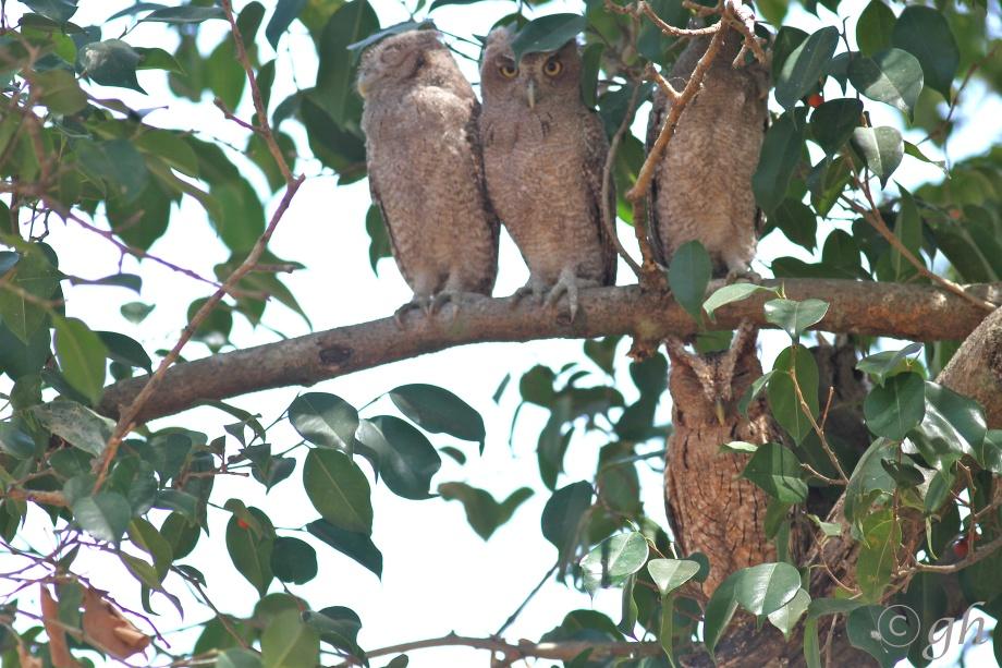 pacific screech-owl / mangrove schreeuwuil