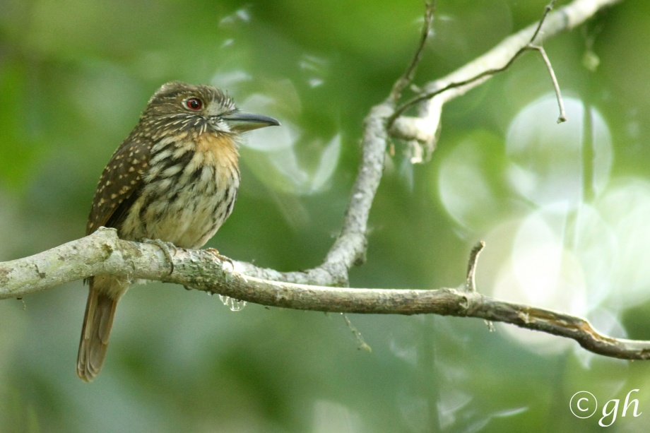 white-whiskered puffbird / witsnorbaardkoekoek