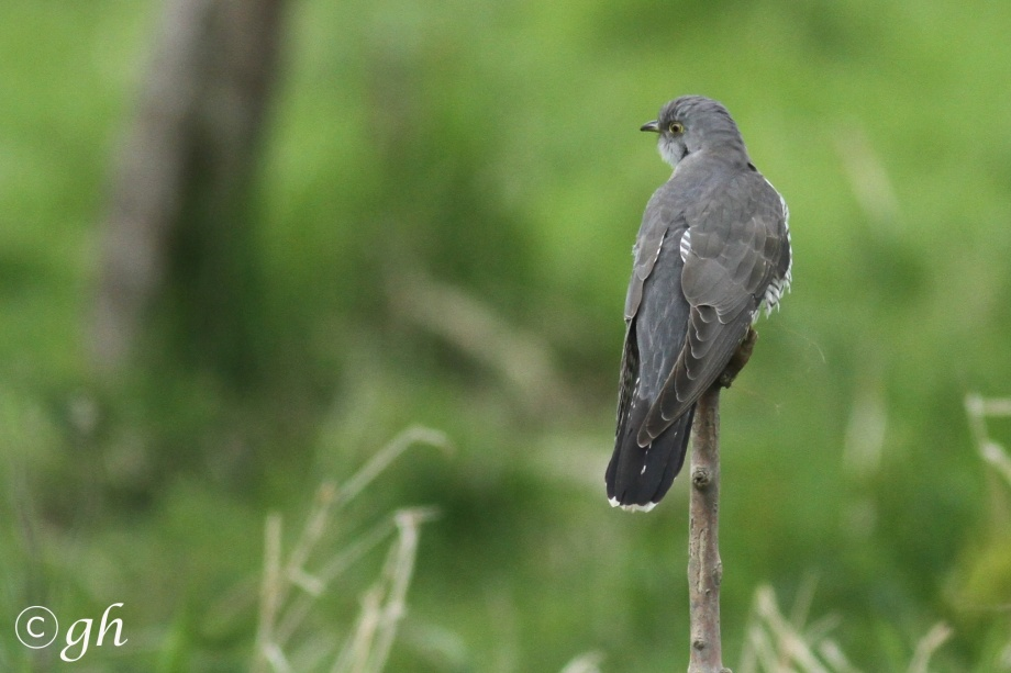 Cuckoo / koekoek