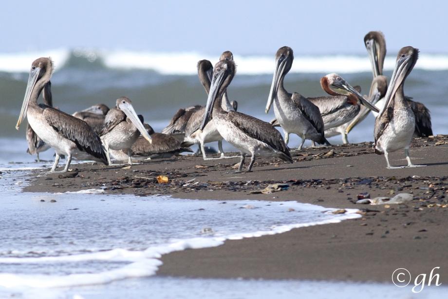 bruine pelikanen