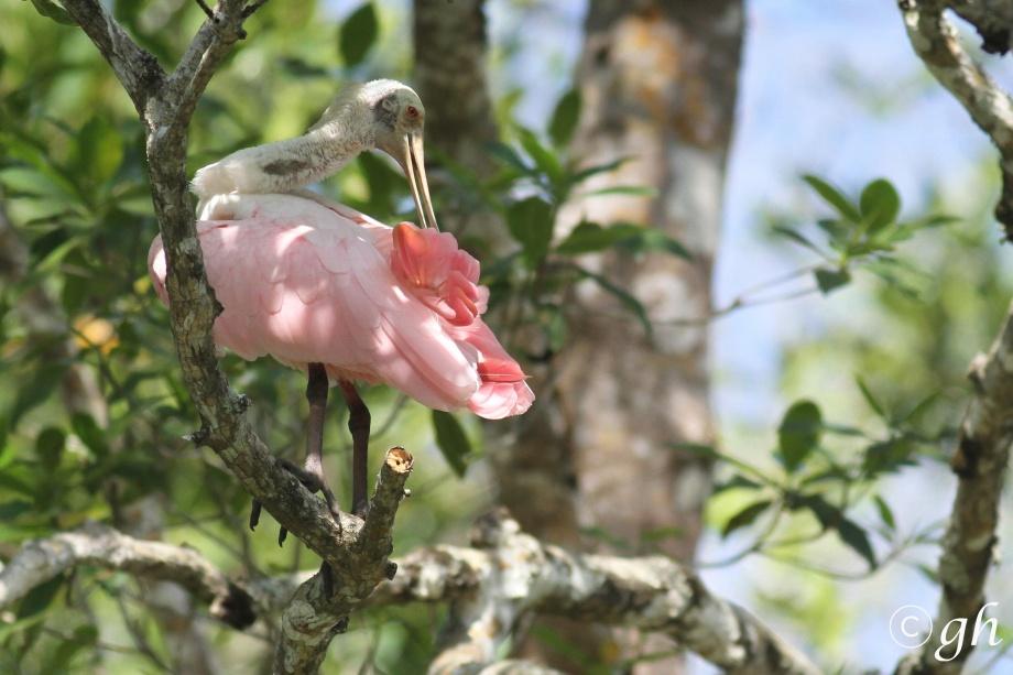 roseate spoonbill / rode lepelaar