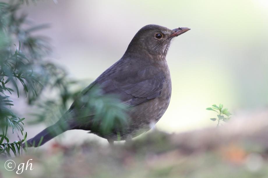 black bird (f) / merel (v)