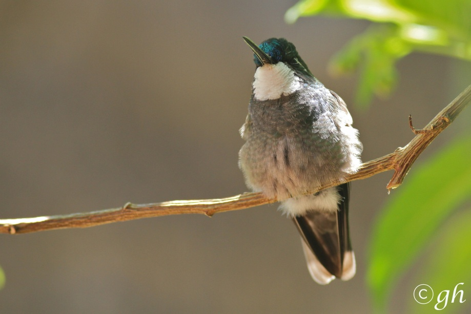 white-throated mountaingem / roodbuikjuweelkolibrie