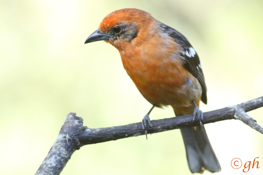 flame-coloured tanager / bloedtangare