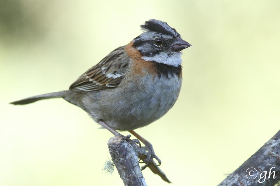 rufous-collared sparrow / bruinnekgors