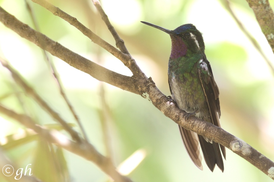 purple-throated mountain-gem/purperkeeljuweelkolibrie (m)