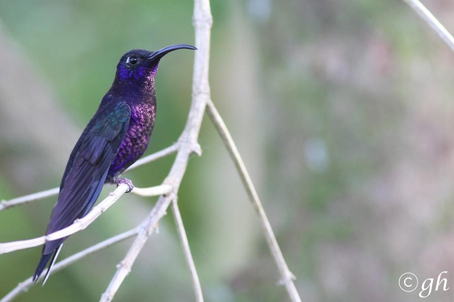 violet sabrewing / violette sabelvleugel