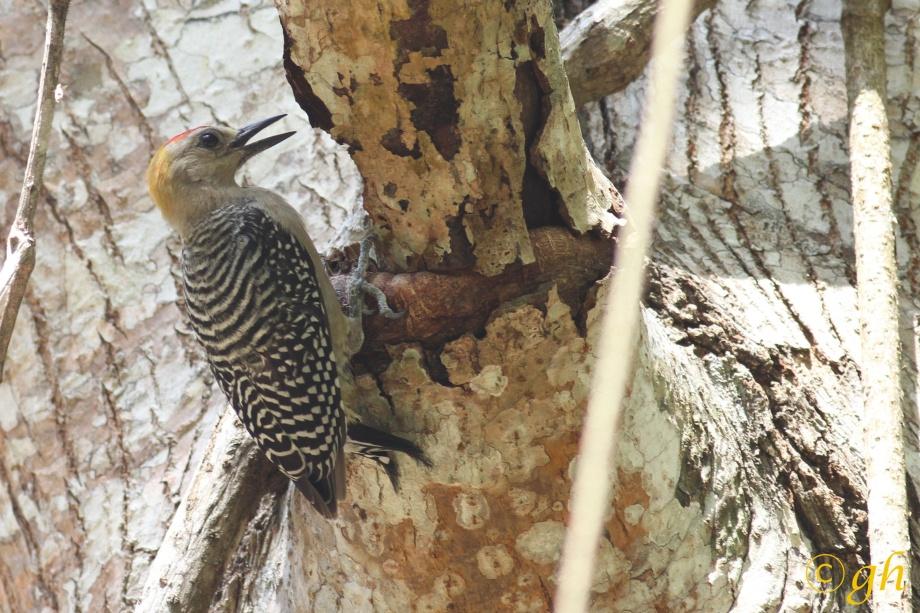 Hoffmann's woodpecker /   Hoffmann's specht