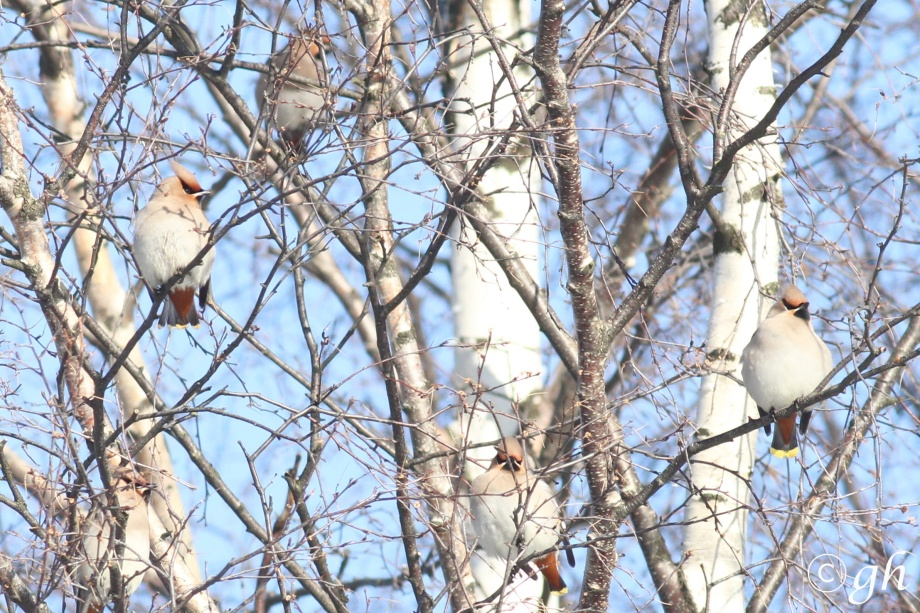 waxwings / pestvogels