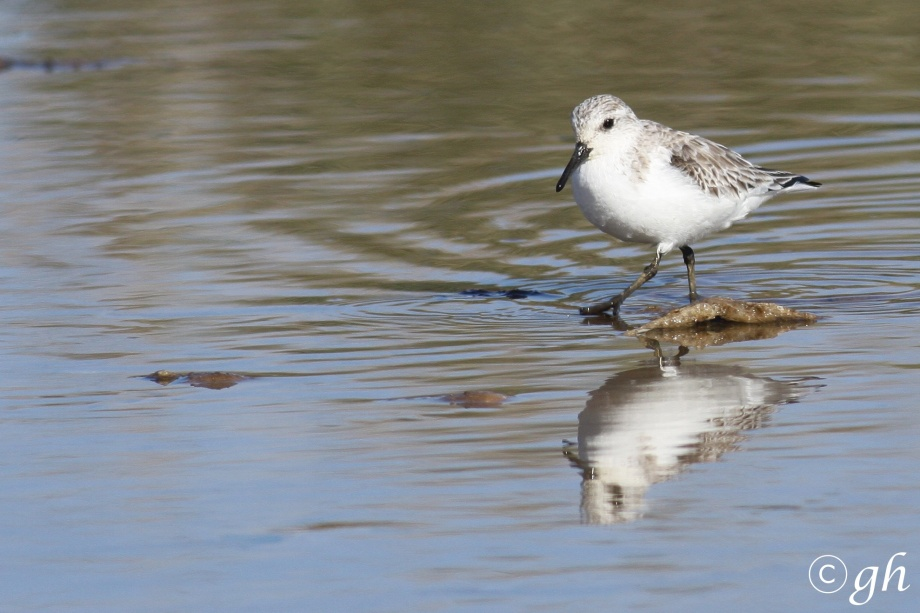 sanderling / drieteenstrandloper