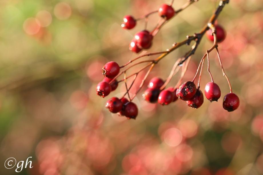 Hawthorn berries. / Bessen van de meidoorn.