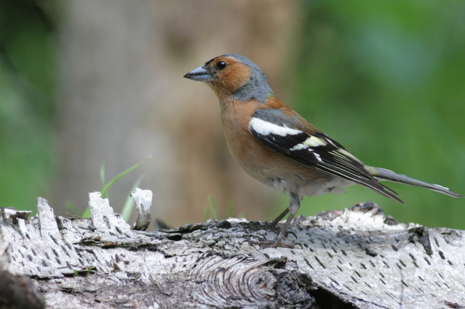 Male chaffinch, 10 June 2016