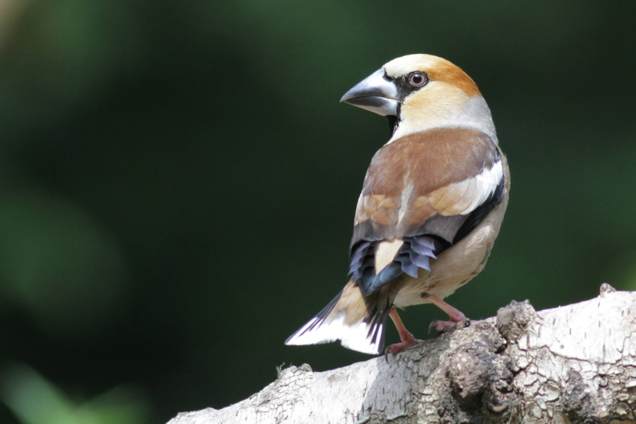 Hawfinch at the hide, 10 June 2016