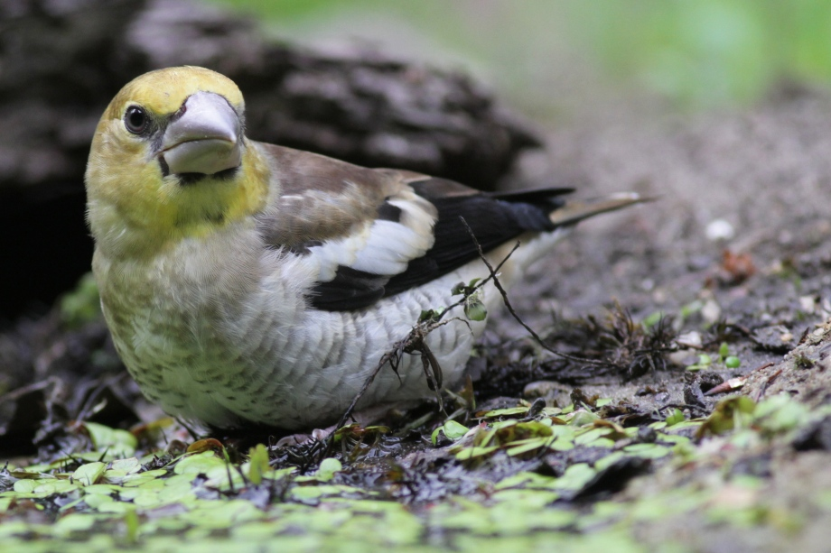 Young hawfinch at the pond, 10 June 2016