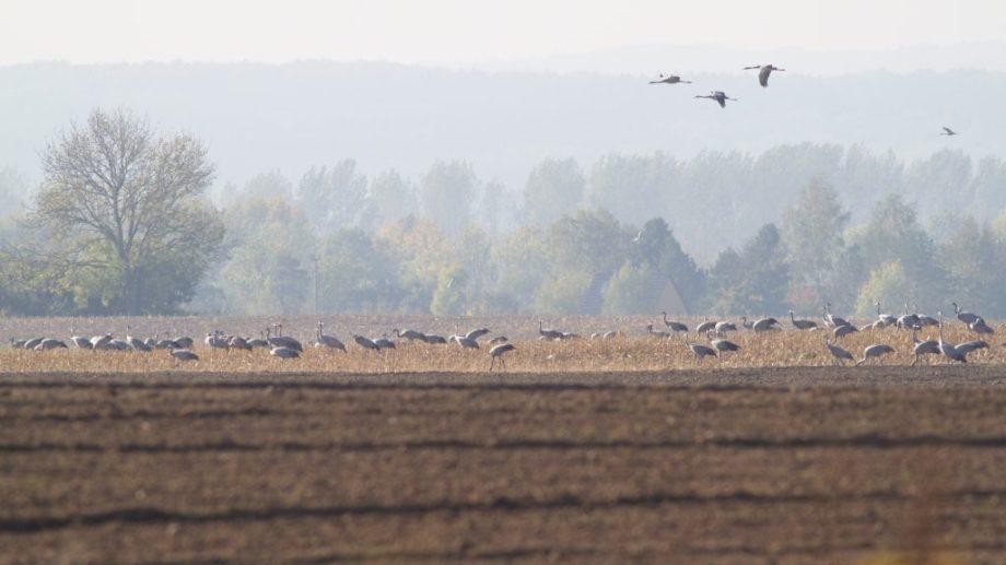 Cranes, Rügen
